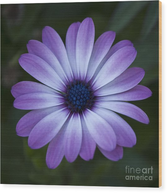 Gerbera In Purple Wood Print