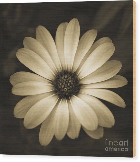 Gerbera In Sepia Wood Print