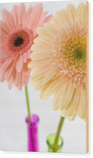Peach And Pink Gerbera Wood Print