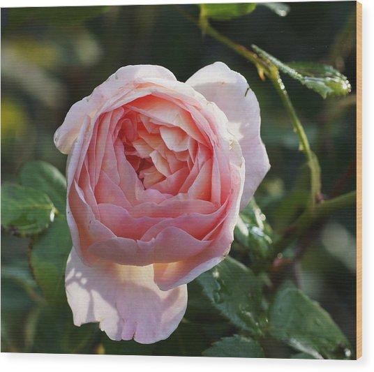 Gertrude Jeykell Old World Rose Wood Print by Rosemarie E Seppala