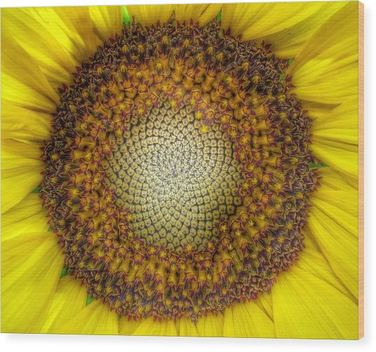 Ghost Sunflower Wood Print