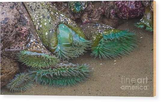 Giant Green Anemone Wood Print