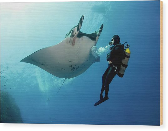Giant Manta Ray With A Scuba Diver Wood Print by Gerard Soury