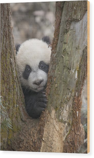 Giant Panda Cub Bifengxia Panda Base Wood Print