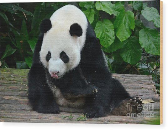 Giant Panda With Tongue Touching Nose At River Safari Zoo Singapore Wood Print