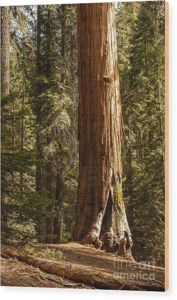 Giant Sequoia  1-7834 Wood Print