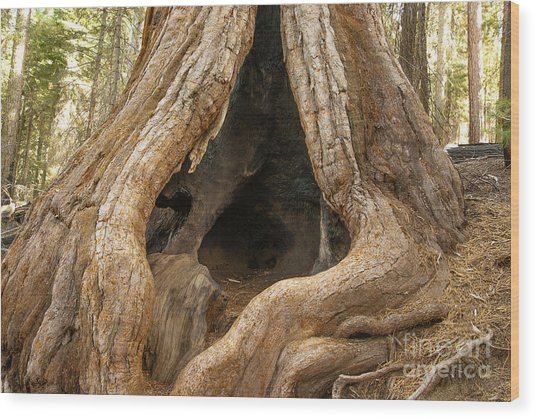 Giant Sequoia  1-7839 Wood Print