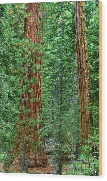 Giant Sequoias Sequoiadendron Gigantium Yosemite Np Ca Wood Print