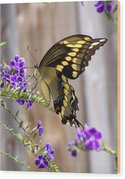 Giant Swallowtail On Goldendewdrop 1 Wood Print