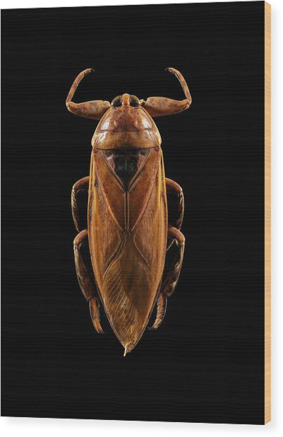Giant Water Bug Wood Print by Science Photo Library