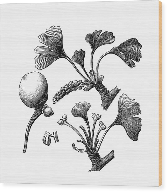 Ginkgo Biloba Wood Print by Nastasic