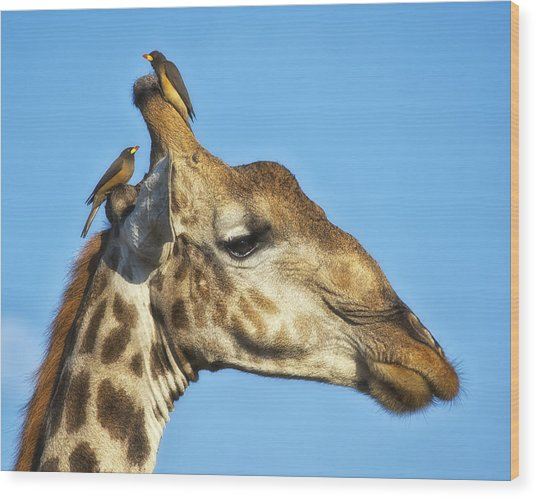 Wood Print featuring the photograph Giraffe And Oxpeckers by Gigi Ebert