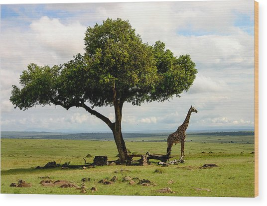 Giraffe And The Lonely Tree  Wood Print