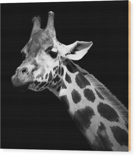 Portrait Of Giraffe In Black And White Wood Print