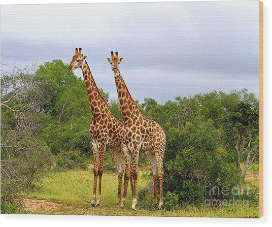 Giraffe Males Before The Storm Wood Print