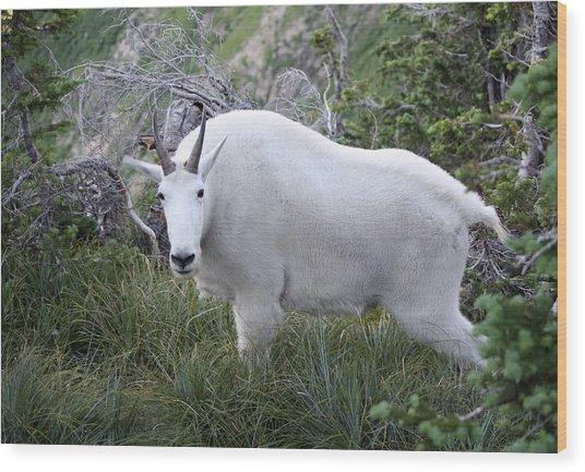 Glacier Goat Wood Print by Carolyn Ardolino