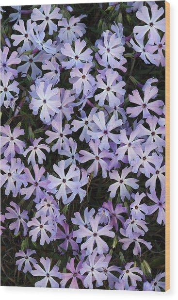 Wood Print featuring the photograph Glade Phlox by Daniel Reed