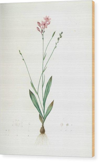 Gladiolus Junceus, Lapeyrousia Juncea Glaïeul Jonc Wood Print