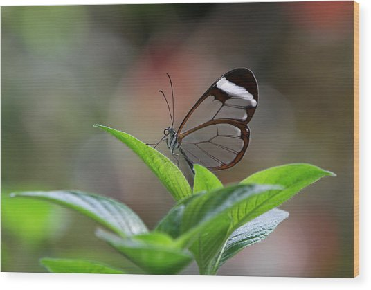 Glasswing Butterfly Wood Print by Juergen Roth