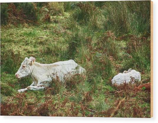 Wood Print featuring the photograph Glendalough Cattle 2 by Trever Miller