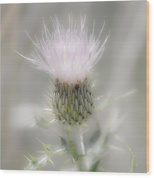 Glimmering Thistle Wood Print