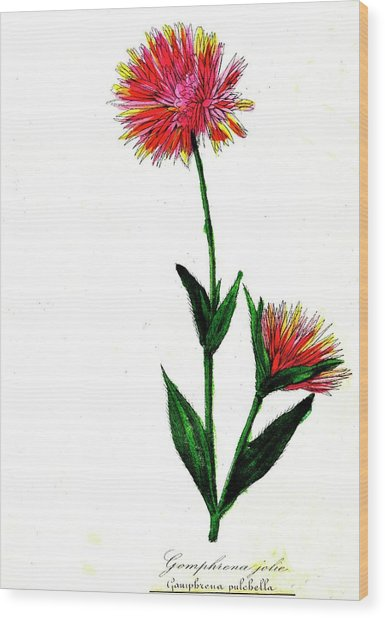Globe Amaranth Wood Print by Collection Abecasis/science Photo Library