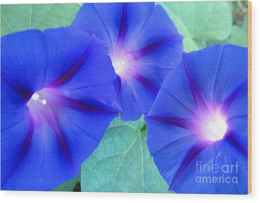 Glory Of The Morning Trio Wood Print