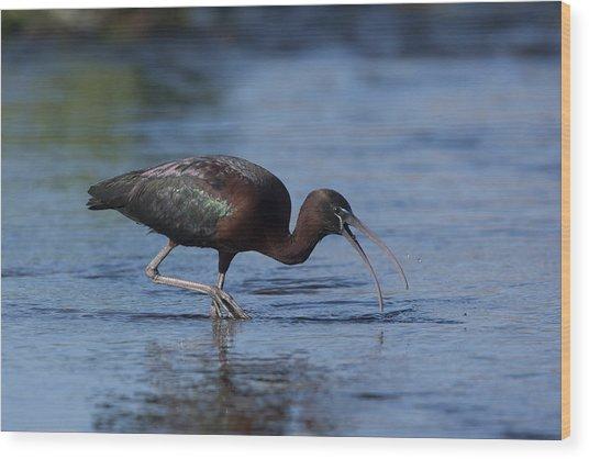 Glossy Ibis Wood Print
