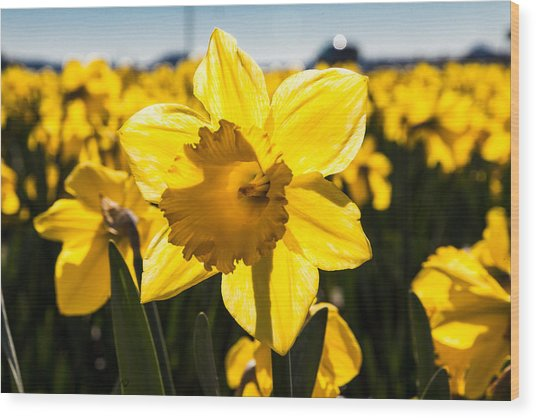 Glowing Daffodil Wood Print