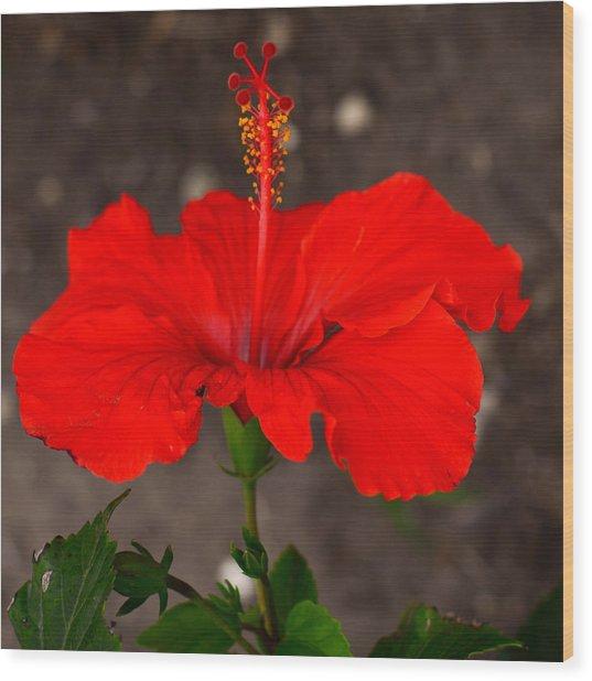 Glowing Red Hibiscus Wood Print