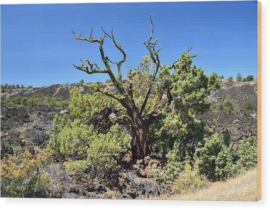 Gnarled Tree On The Lava Beds Wood Print by Rich Rauenzahn