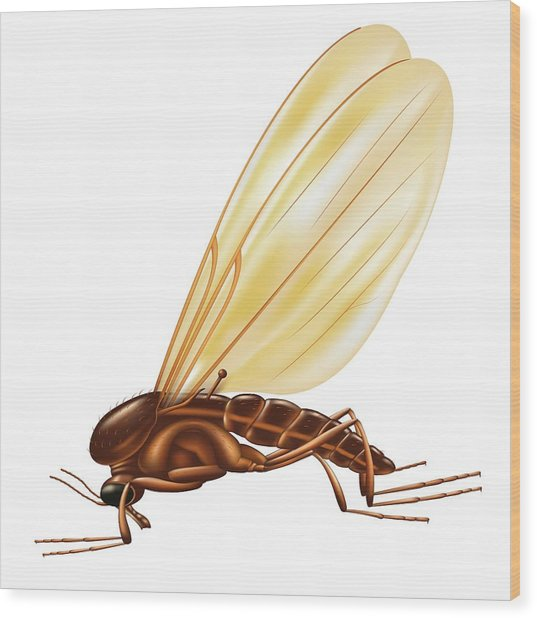Gnat Wood Print by Ella Maru Studio / Science Photo Library