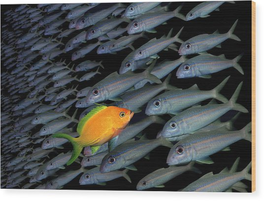 Gold Fish Swimming Opposite Direction To Grey Shoal Wood Print by Steve Bloom