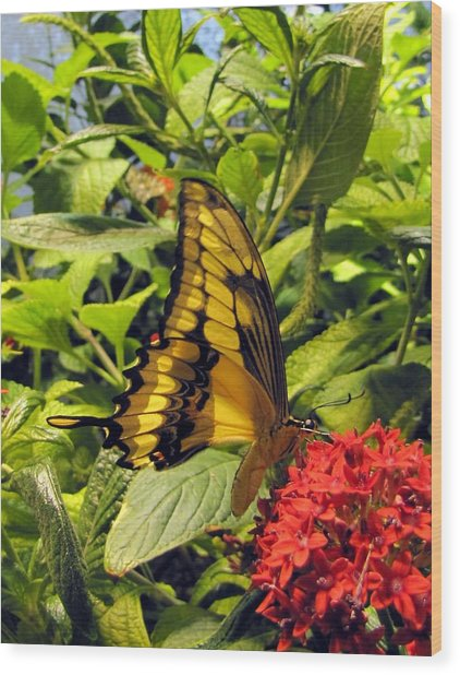 Gold Giant Swallowtail Wood Print