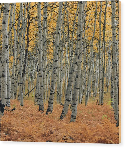 Golden Aspen Forest Wood Print
