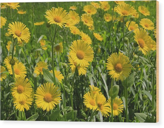 Golden Asters Wood Print