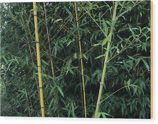 Golden Bamboo (phllostachys Aurea) Wood Print by Sally Mccrae Kuyper/science Photo Library