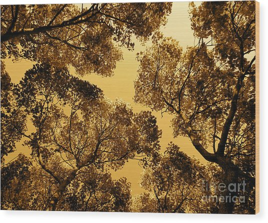 Golden Camphor Wood Print