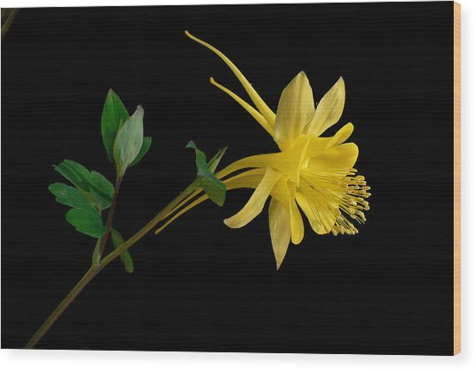 Golden Columbine Wood Print