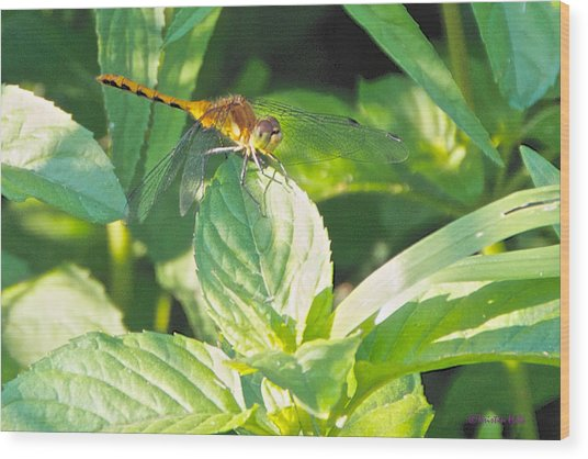 Golden Dragonfly On Mint Wood Print