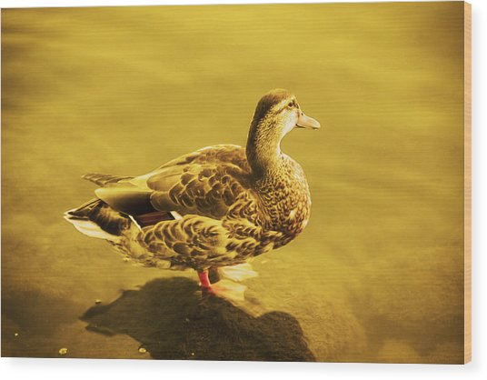 Golden Duck Wood Print