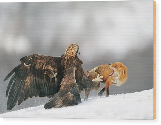 Golden Eagle And Red Fox Wood Print