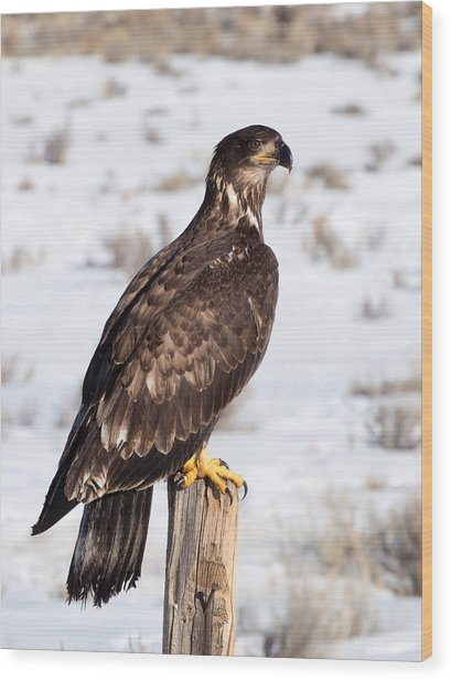 Golden Eagle On Fencepost Wood Print