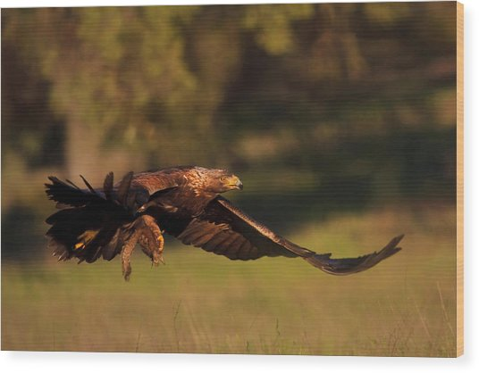 Golden Eagle On The Hunt Wood Print