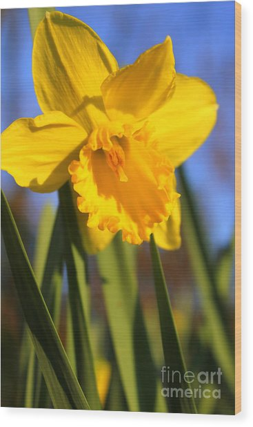 Golden Glory Daffodil Wood Print
