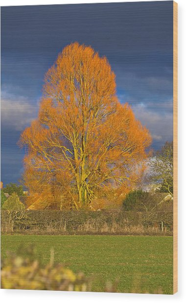 Wood Print featuring the photograph Golden Glow - Sunlit Tree by Paul Gulliver