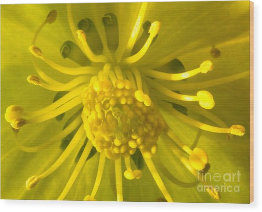 Golden Hellebore Glory Wood Print