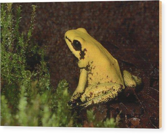 Golden Poison Arrow Frog Wood Print