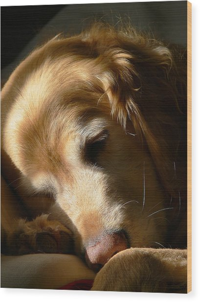 Golden Retriever Dog Sleeping In The Morning Light  Wood Print