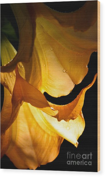Golden Trumpets Wood Print